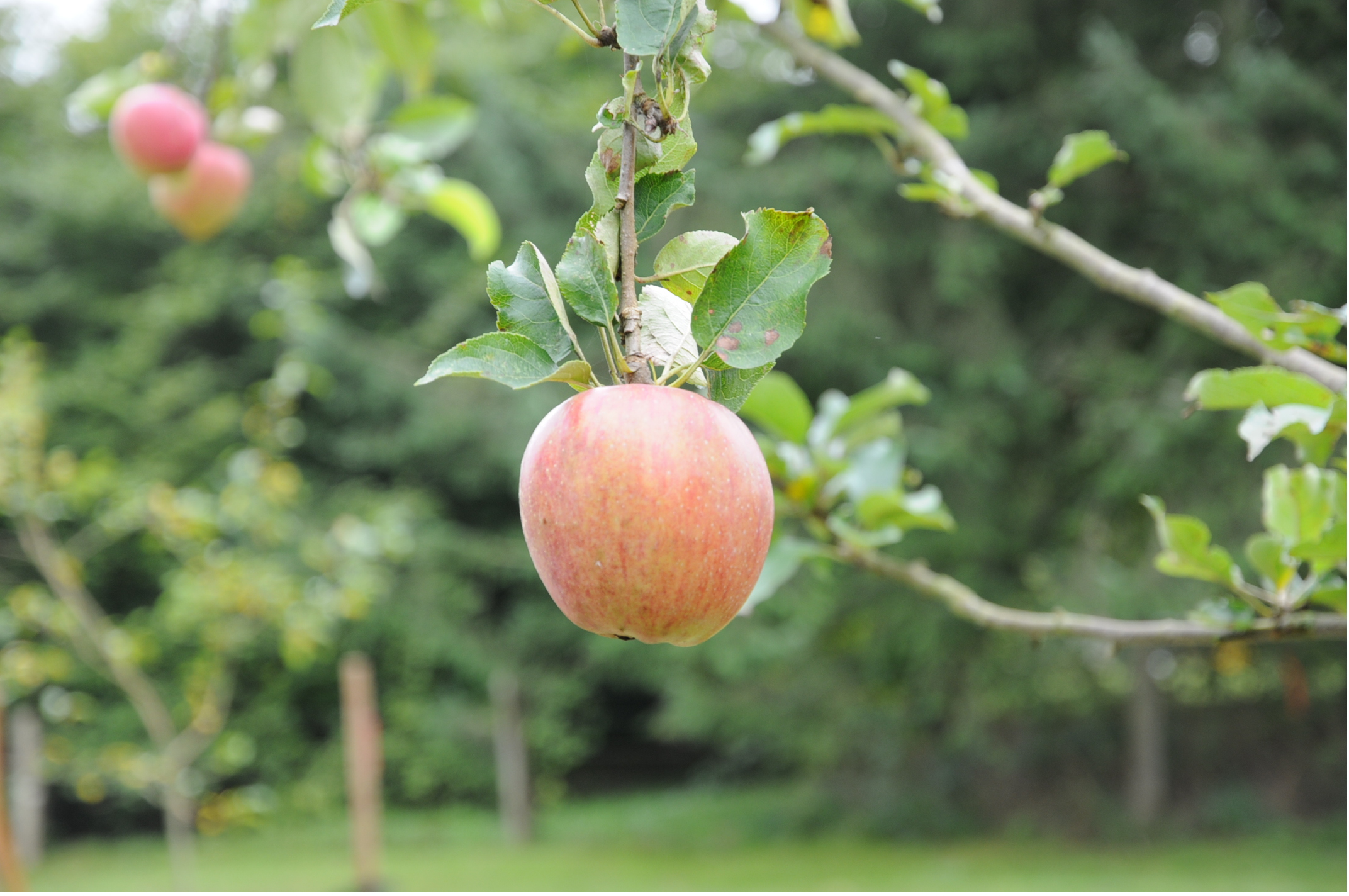 An apple hanging off a branch at Brae Island Orchard