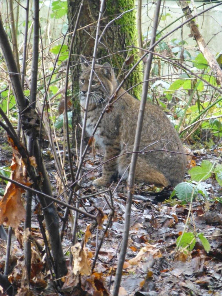 Steve Benton who works in Watershed Management Dept. Metro Vancouver took this photo of a bobcat in 2013 at Cariboo Dam.