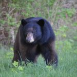 Minnekhada Regional Park, International Bear Day, black bear, Brian Nawyn, Pacific Parklands Foundation