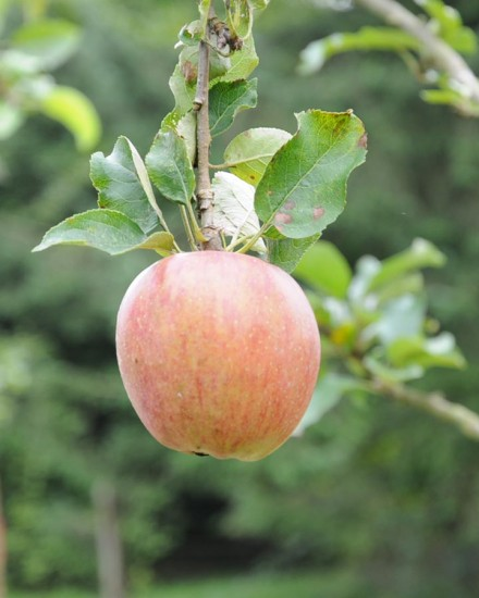 Pacific Parklands Foundation Our Work The Brae Island Heritage Apple Orchard
