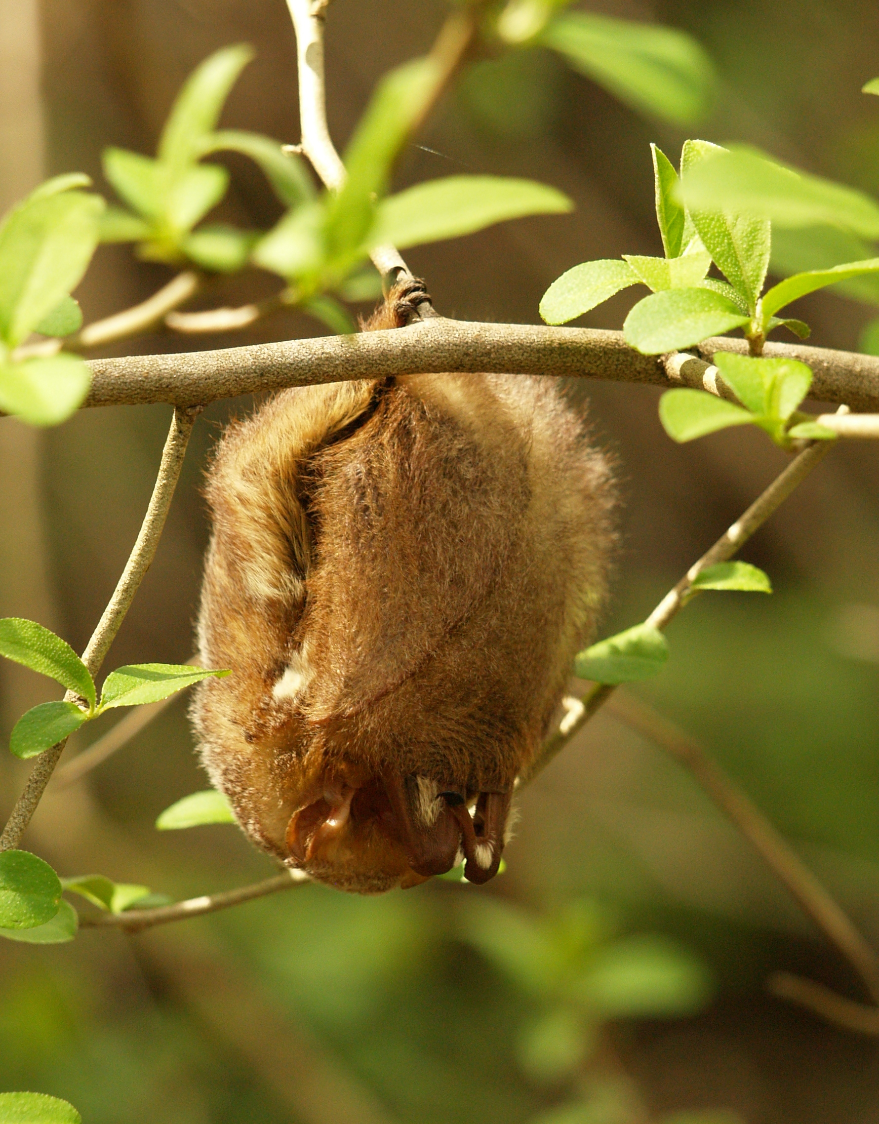 "Eastern red bat (Lasiurus borealis), roosting at ""Griffy lake,"" Bloomington, IN."