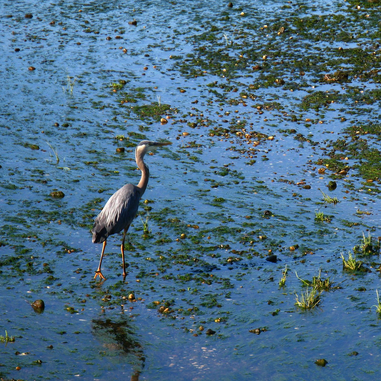 Great Blue Heron, Boundary Bay