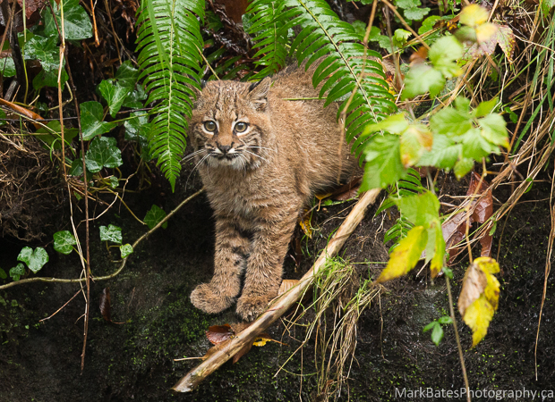 Photo of bobcat fishing for salmon at a stream near Burnaby Lake.