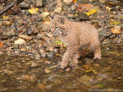 A bobcat at Burnaby Lake salmon fishing.