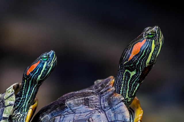 Two painted turtle heads