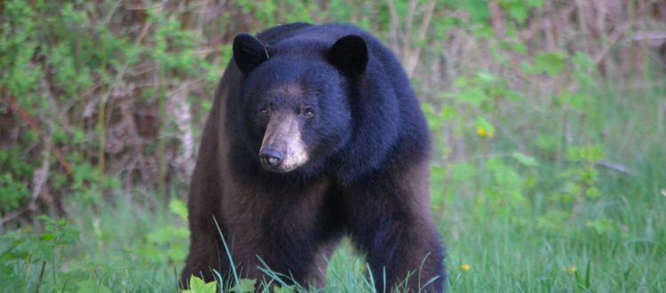 Pacific Parklands Foundation News Gearing Up For Bear Season